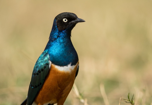 Superb Starling basking in the sunlight