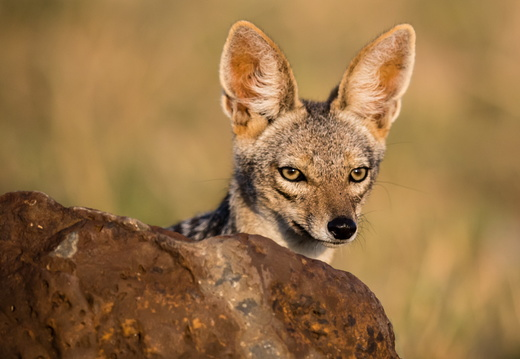 Jackal in the Masai Mara