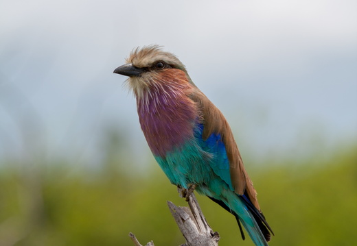 Lilac breasted roller in Chobe