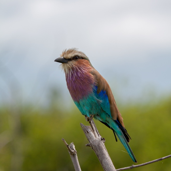 Lilac breasted roller in Chobe.jpg