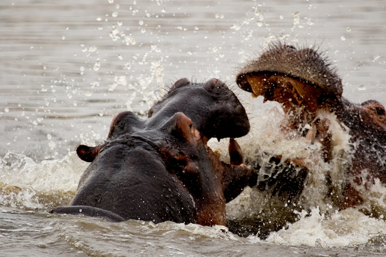 Fighting hippos.jpg