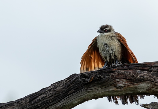 White-browed Coucal opening its wings
