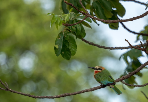 White-fronted bee-eater resting on a branch