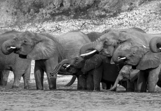 Elephant family drinking in the Chobe river