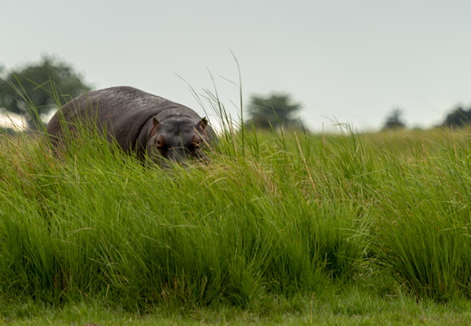 Hippo hiding in the tall grass