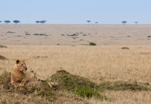 Lion resting in the Mara