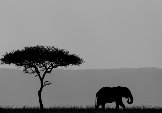 African silhoutte