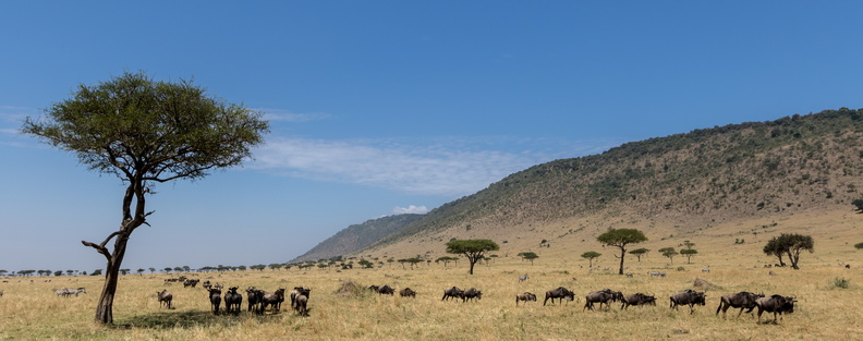 Migration in the plains of the mara.jpg