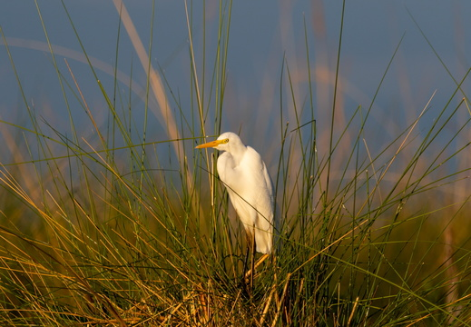 Yellow billed Egret