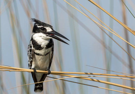 Pied Kingfisher in the reeds