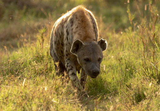 Hyena in the morning sun