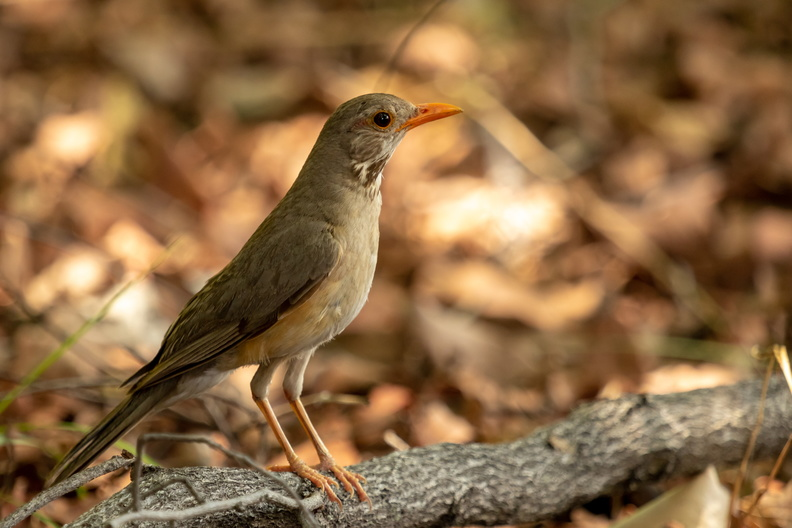 Kurrichane Thrush_.jpg