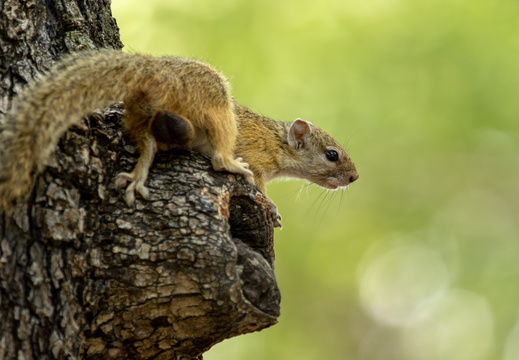 Tree squirrel in Moremi