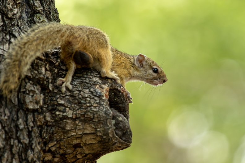 Tree squirrel in Moremi.jpg