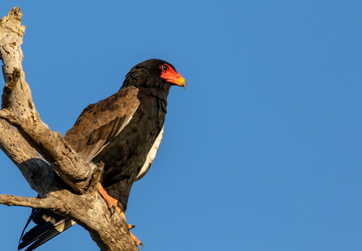Bateleur eagle resting on a dead tree