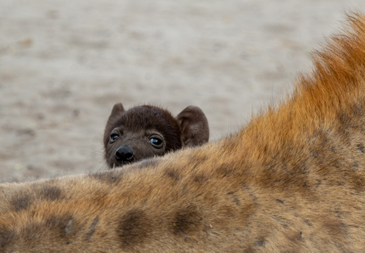 Hyena pup looking over mother's back