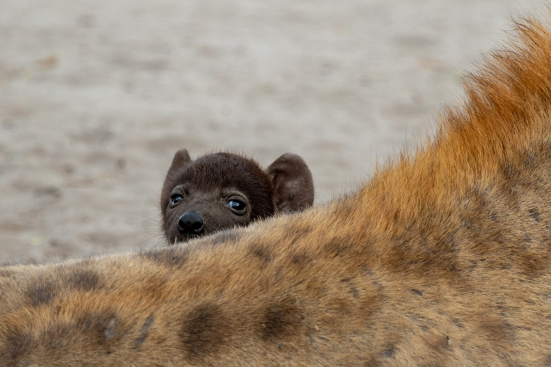 Hyena pup looking over mother's back.jpg
