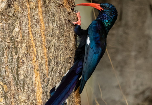Red-billed or Green Woodhoopoe