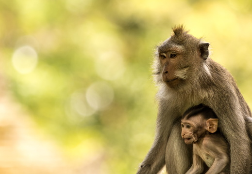 Crab-eating macaque with baby