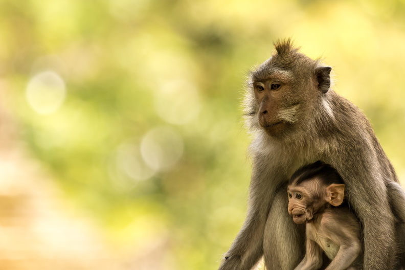 Crab-eating macaque with baby.jpg