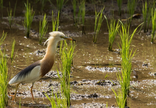 Javan Pond Heron in a rice field