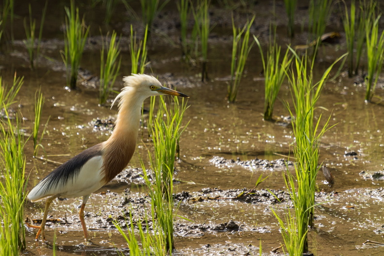 Javan Pond Heron in a rice field.jpg