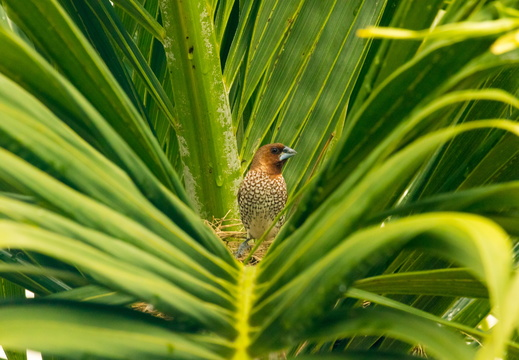 Scaly-breasted Munia in a Palm-tree