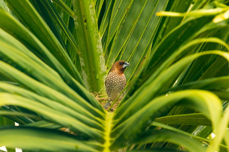 Scaly-breasted Munia in a Palm-tree.jpg