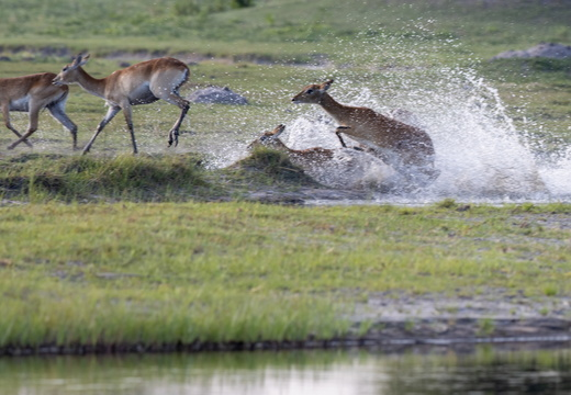 Red lechwe in the water