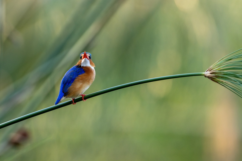 Malachite kingfisher on a papyrus stem.jpg